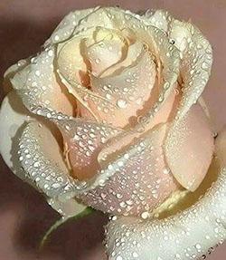 Mini-noces, rose